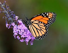 Monarch on Flowers (KoolPix) Tags: monarchbutterfly monarch butterfly insect wings antenna flowers purpleflowers plant colorful koolpix naturephotography jayd nature naturephotos naturephotographer animalphotographer wcswebsite nationalgeographic fantasticnature amazingnature wonderfulbirdphotos animal