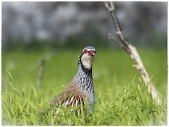 AY QUE TE VI (BLAMANTI) Tags: perdizroja aves avesdeespaña naturaleza caza verde colorido pet x32