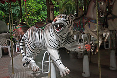 Carousel Tiger, Palm Beach Zoo (6 of 7) (gg1electrice60) Tags: palmbeachzoo carousel wildlifecarousel dreherpark 4807drehertrailn carrousel merrygoround 4807drehertrailnorth amusementpark drehertrailnorth drehertrailn florida palmbeachcounty interstate95 i95 zoo park wildlife summitboulevard summitblvd horses benches tiger whitetiger albinotiger teeth poles