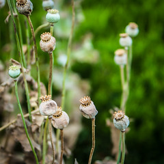 Silent Passengers (oliemackeral) Tags: poppy seed pods crowns garden nature archives nacogdoches texas