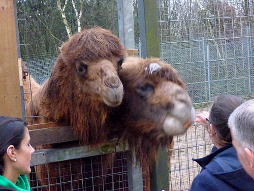 South Lakes Zoo - feeding the bactrian camels (2)