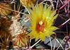 Ferocactus emoryi (l.e.violett) Tags: cactus flowers cultivated ferocactus emoryi arizona pse macro