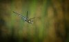 Migrant Hawker ♂ (Nickerzzzzz - Thanks for stopping by :)) Tags: ©nickudy nickerzzzzz theartofphotography canoneos70d ef100400mmf4556lisiiusm dungeness photograph ♂ migranthawker aeshnamixta dif flight wildlife wings nature insect outdoor dragonfly