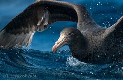 NthGP-6759 (Henry.Cook) Tags: ocean sea nature birds giant amazing wildlife birding southern tasmania seabirds pelagic petrel macronectesgiganteus