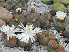 DSCF0395 (BobTravels) Tags: plant stone bob lithops lithop messem bobwitney