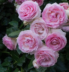 Pierre de Ronsard (KenBrown53) Tags: roses rose pinkrose rosecluster pierrederonsard pierrederonsardrose