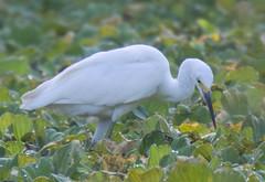 _C5A3823.jpg (Lake Worth) Tags: bird nature birds animal animals canon wings wildlife feathers sigma waterbird wetlands everglades waterbirds southflorida 2xextender