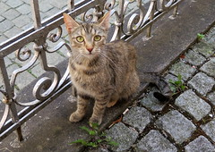 Rothenburg (505) (Silvia Inacio) Tags: cats cat germany tabby gatos gata rothenburg alemanha