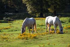 Grazing (gaprunella) Tags: two horse field fence georgia farm yellowflower pasture grazing appling alittlephotography