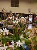 Paphiopedilum St. Swithin (cieneguitan) Tags: flower flora lan bunga orkid okid angrek anggerek