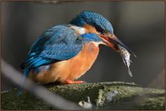 Kingfisher (image 2 of 2) (Full Moon Images) Tags: fish bird nature wildlife kingfisher stickleback