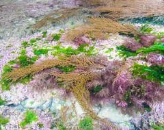 Seaweed (twinkle_moon_bunny) Tags: seaweed colorful pretty cornwall colourful