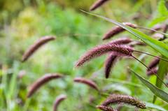 Foxtail ornamental grass (Susanne Hjertø Wiik) Tags: dugg gress høst prydgress skolehagen vanndråper årstid naturlandskapnaturfenomen norge steder tingfenomen vær oslo z