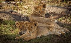 Lion cubs (WhiteEye2) Tags: africa cute kenya wildlife adorable lions lioncubs masaimara babyanimals