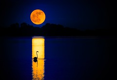 Camargue (VB31Photo) Tags: pink moon france bird nature water rose night landscape pond eau wildlife south flamingo lone moonlight lonely nuit oiseau languedoc gard sud vie tang mortes camargue waterscape sauvage aigues flamant phoenicopterus supervincent31 vb31photo