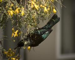 Kowhai and Tui 5 (ArdieBeaPhotography) Tags: newzealand flower tree bird yellow golden spring blossom trumpet nz honeyeater aotearoa kowhai sophora passerine novaeseelandiae prosthemadera