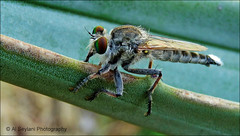 Close up  -  Robber fly (uvaisjm - Al Seylani Photography) Tags: macro closeup dragonfly insects