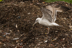 Caspian gull (Larus cachinnans) (The Gull Explorer) Tags: nature birds gulls caspiangull laruscachinnans zabielikislandfill
