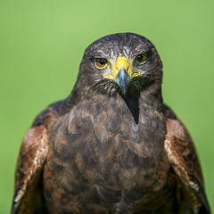 What? [Explored] (Tom.Brook) Tags: portrait green bird nature canon eos fly wings eyes hawk wildlife falcon prey harris 6d tombrook