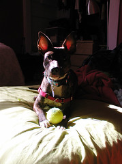 really let's go (Pippypippy) Tags: dog chien pet animal puppy mutt ears io perro doggy paws brindle bigears dognose mixedbreed amstaff whitepaws rescuedog doglove pitbullmix dogwithtennisball pocketpitbull