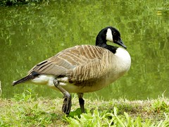 Goose Step (spikey_64) Tags: bird nature waterfoul natural wildlife goose naturalworld naturephotography wildlifephotography
