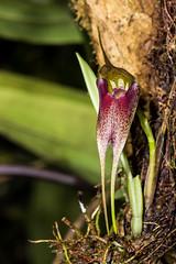 Masdevallia misasii Braas (PenduSeb - 2670m) Tags: plantas santander orquideas masdevallia labelleza