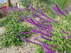 October 26, 2014 (6) (gaymay) Tags: california gay love happy purple desert palmsprings dogwalk triad rainbowgame