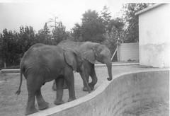 Elephants at Stanway Zoo Colchester Essex 1969 (Bury Gardener) Tags: uk england blackandwhite bw 1969 animals zoo elephants 1960s oldies
