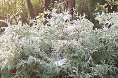 Silvery morning light (*Margareta*) Tags: cobweb thuja tuja spindelnt