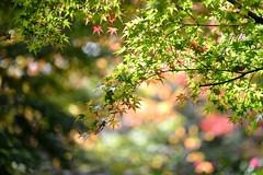 (myu-myu) Tags: autumn nature japan leaf nikon japanesemaple  d800    makroplanart2100zf