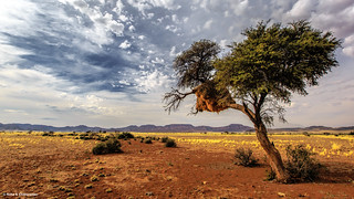Lone Tree in Namib Naukluft National Park