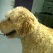 2012:12:10 Teddi the Doodle - Shelley the Groomer - Downers Grove