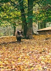 Kiev 4 + Jupiter-11 - Visit of Game Preserve in Kohoutovice (Kojotisko) Tags: nature forest woods brno cc creativecommons vintagecamera czechrepublic kiev kiev4 jupiter8 superiaxtra400