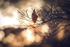 leaf light (Jen MacNeill) Tags: morning autumn tree fall nature leaf bokeh raindrops dogwood goldenhour