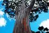 Mighty Mindanao (KelliCampbell) Tags: hawaii oahu tropics rainbowtree paintedtree amazingtree mindanaotree butitsnotpainted