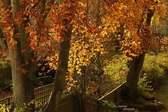 Autumn (Myo-Myo) Tags: autumn trees orange tree yellow canon eos coth canon600d coth5 sunrays5