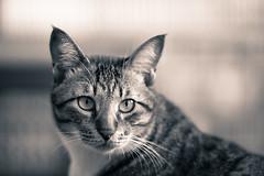 Cat (428sr) Tags: bw zeiss cat nikon tabi neko miaw zf2 d800e
