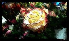 50-Dans le jardin, pour toi !... (gio.dino3) Tags: roses rosa fiore leur giodino3