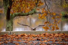 See ya later (djrocks66) Tags: trees fall nature water leaves birds landscapes lakes foliage