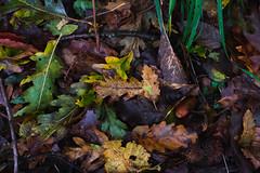 Autumn leaves (ivan ferrari photo) Tags: autumn colors forest 35mm woods fuji autunno colori fujinon foresta boschi 35mm14 xe2 fujixe2