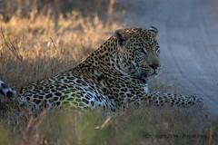 IMG_2415 (roger_the_dodger) Tags: southafrica wildlife safari leopard sabi sands krugernationalpark kruger simbambili