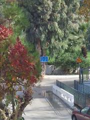 (Psinthos.Net) Tags: road november autumn trees nature field car afternoon greens eucalypt railings treebranches acacia eucalypts treetrunks   vrisi  psinthos                  vrisiarea  vrisipsinthos