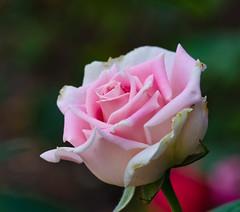 The Art of Pink. (Omygodtom) Tags: park pink portrait abstract flower detail macro art texture nature rose oregon yahoo google nikon flickr bokeh explorer existinglight pdx tamron facebook tamron90mm simpleflowers d7000 urbunnature
