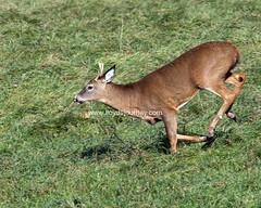 IMG_6503 (lloydsjourney) Tags: wild animal wildlife maine young deer rack lloyd alexander buck antler lloydalexander