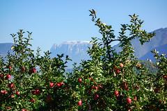Äpfel vor Schlern