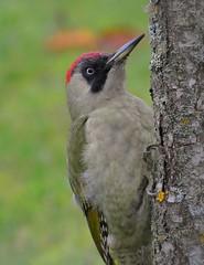 Mr X (nikkorglass) Tags: home woodpecker nikkor picusviridis hemma ft1 europeangreenwoodpecker 70300mmvr gröngöling nikon1j3
