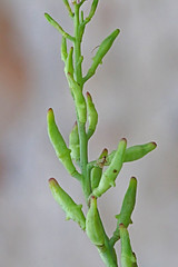 CAC009495a (jerryoldenettel) Tags: flower searocket wildflower brassicaceae pointpinos 2014 cakile cakilemaritima rosids montereyco brassicales europeansearocket