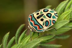 Picasso Bug (zimbart) Tags: africa insects mozambique truebugs hemiptera scutelleridae specinsect sphaerocoris chimanimanimts sphaerocorisannulus