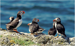 Puffins on the Isle of May (eric robb niven) Tags: summer scotland wildlife ngc puffin puffins anstruther seabirds firthofforth isleofmay wildbird ericrobbniven pentaxk50