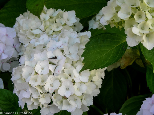 Aldermaston Village, hydrangea macrophylla mophead, jdy188 XX200707070585.jpg